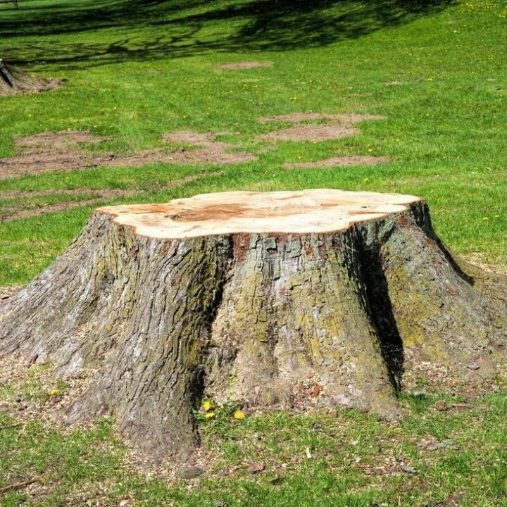 stump to be removed by panama tree professionals